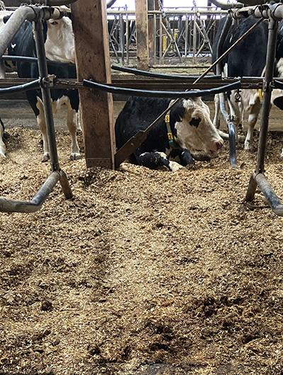Matratzenbildung bei Rindern